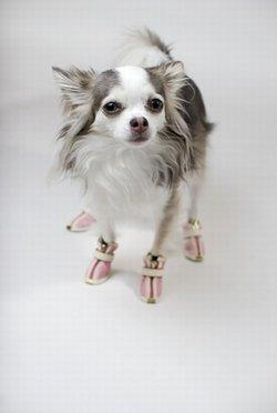 Chihuahua wearing boots
