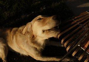 Dog chewing rake