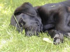 Puppy labrador retriever laying in the grass