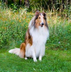 Rough Collie Dogs For Sale