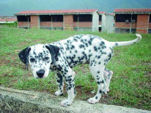 A Dalmatian puppy walking in a yard