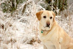 Number one breed: Labrador Retriever