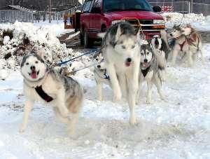 Joyful sled dogs