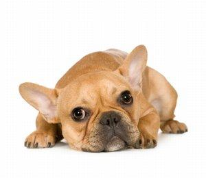 A fawn-colored French Bulldog laying down