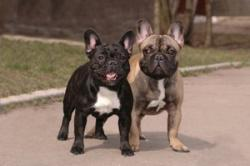 Photo of French Bulldog playmates
