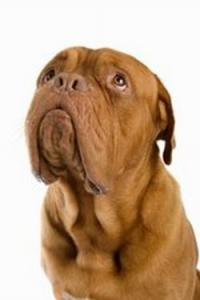 Loving and devoted French Mastiff