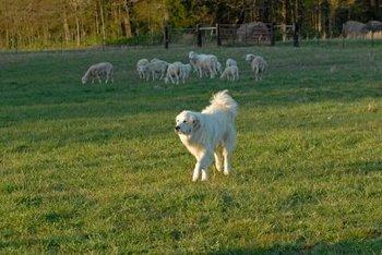 Pyrenees Mountain Dog