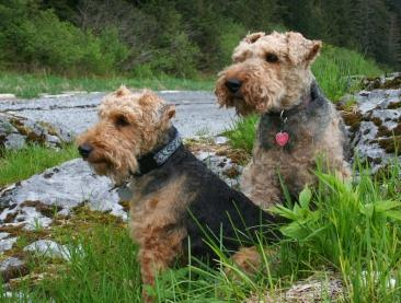 Two Welsh Terriers by a stream