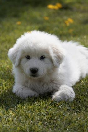 Great Pyrenees Bernese Mountain Dog Mix For Sale