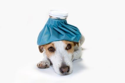 dog with ice pack