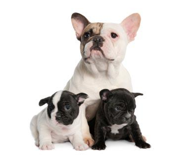 French Bulldog with her two puppies