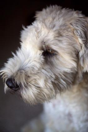 Soft_Coated_Wheaten_Terrier.jpg