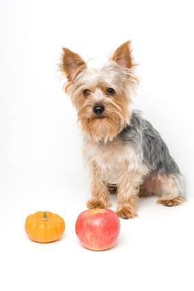 Yorkshire Terrier with an apple and mini pumpkin