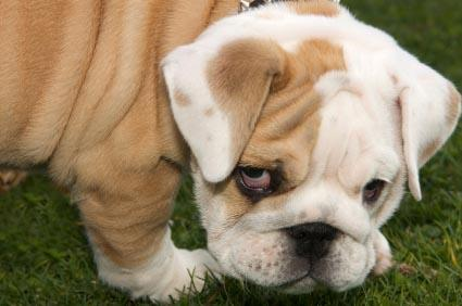 Sad-looking English Bulldog puppy