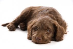 Finding Responsible Miniature Labradoodle Breeders | LoveToKnow