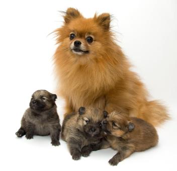 Pom and pups