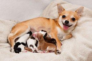 Chihuahua with litter