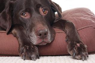 Sick Labrador resting on a cushion