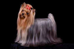 How To Groom Yorkie Show Dogs And Pets Lovetoknow