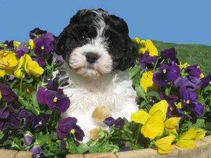Cavachon pup; Image used with permission of Judy Hahn of Glenedon Cavachons