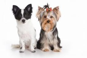 The Chihuahua and Yorkie; Copyright: Anna Utekhina at Dreamstime.com
