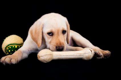 Lab pup with a bone