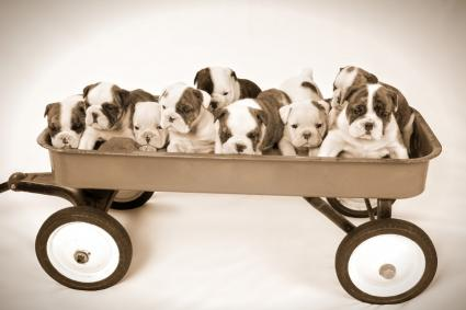 Wagon full of English Bulldog puppies
