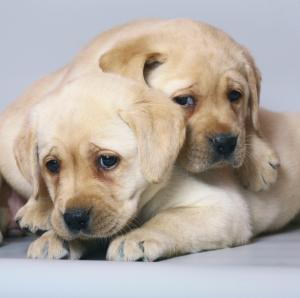 Two Lab pups