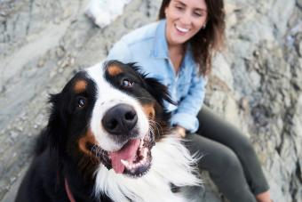 Happy Bernese Mountain dog with owner