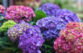 Purple Hydrangea Flowers In Park