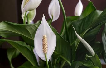 Blooming white flowers spathiphyllum