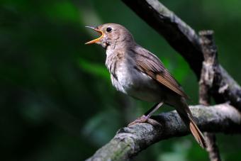 Singing nightingale in dark forest