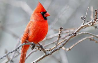 Exploring Red Cardinal Biblical Meaning and Symbolism