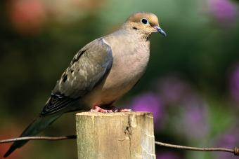 Mourning Dove Perched on a Fence Post
