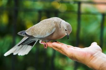 A Mourning Dove Comes to Visit