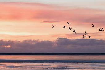 Group of ducks flying