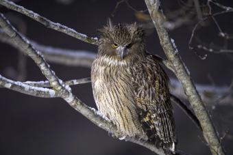 The Blakiston's fish owl
