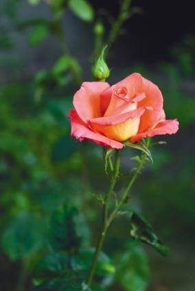 Memorial rose bush; copyright © Igor Osypenko | Dreamstime.com