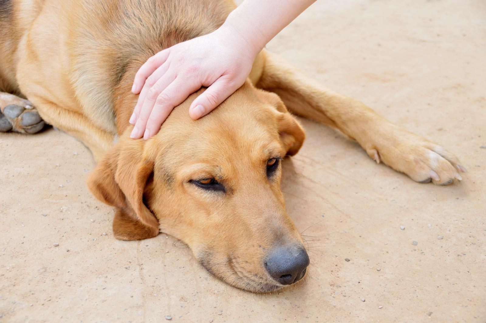 Petting a sick dog