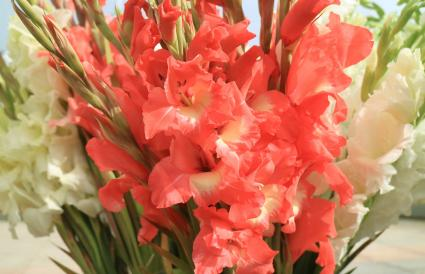 coral pink and white Gladiolus