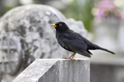 European blackbird Turdus merula on gravestone