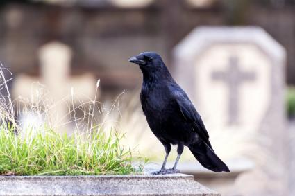 Raven in a cemetery