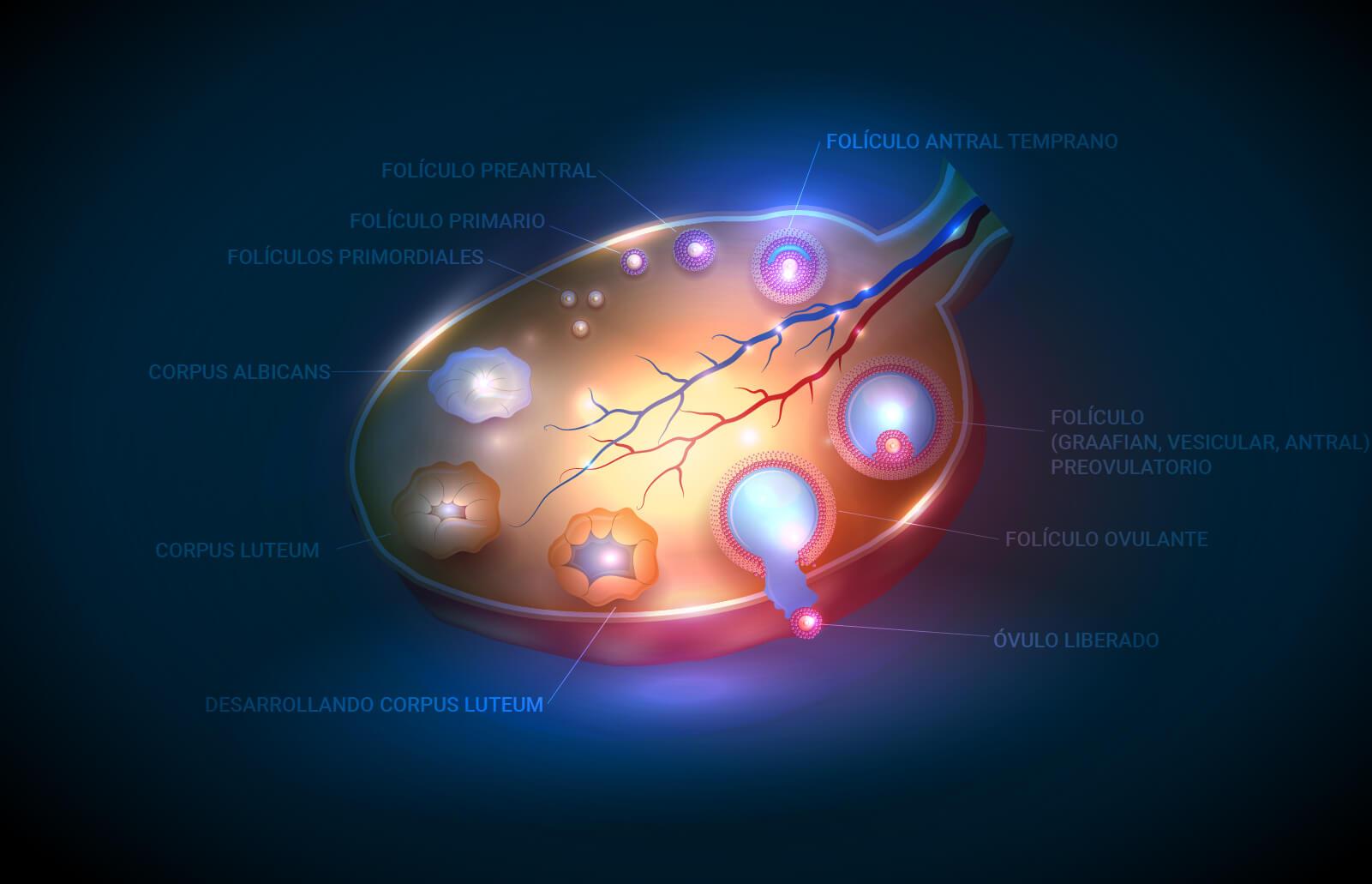 se-puede-ovular-dos-veces-ciclo.jpg