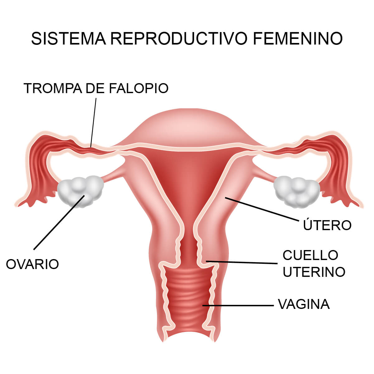 sistema-reproductivo-femenino.jpg