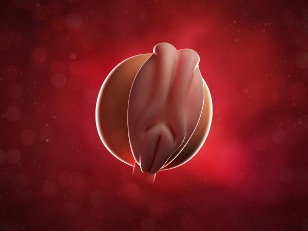 Embrión de 4 semanas