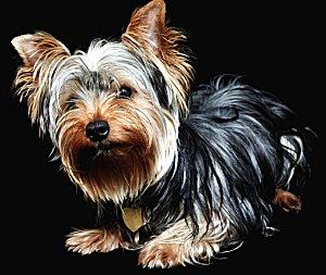 Yorkshire Terrier who swallowed an engagement ring