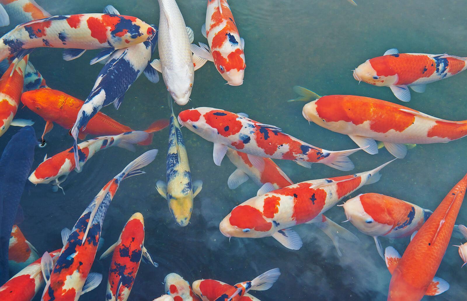 Como Se Llaman Los Peces Japoneses