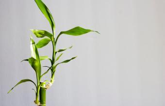 Planta de bambú de la suerte