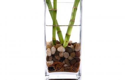 Bambú de la suerte en agua