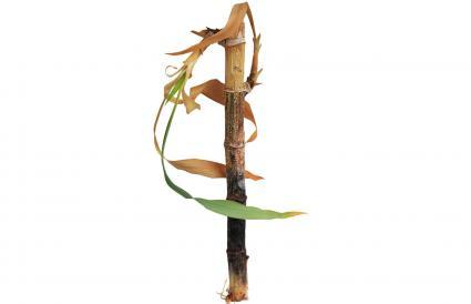 Tallo de bambú moribundo